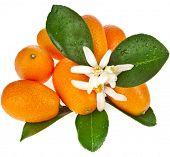 stock photo of kumquat  - Pile heap of kumquat citrus fruit close up isolated on white background - JPG
