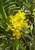 image of yellow orchid  - The beautiful of yellow orchid with natural background - JPG