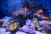 stock photo of starfish  - A starfish in a tank with stones and sea anemone - JPG