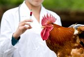 foto of roosters  - Close up of rooster waiting for vaccine from veterinarian - JPG