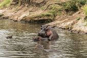picture of copulation  - Hippos mating in river - JPG