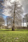 stock photo of conifers  - HDR shot of an old conifer on a meadow - JPG