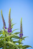 image of salvia  - Spikes of purple perennial salvia flowers on sky blue background - JPG