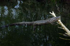 stock photo of gator  - gator laying on log in the swamp - JPG