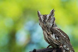 stock photo of screech-owl  - Portrait of Eastern Screech Owl  - JPG