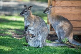 picture of wallabies  - Female Wallaby with her joey in grassed area - JPG