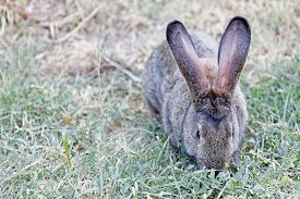 foto of eat grass  - Hungry rabbit with  long ears eating grass - JPG