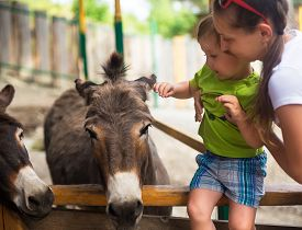 pic of burro  - Little boy touches burro in contact zoo - JPG