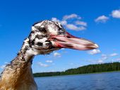 picture of great crested grebe  - sheldrake in a shot close up  - JPG