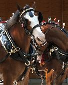 foto of clydesdale  - Clydesdale team in harness standing in front of a wooden wall - JPG