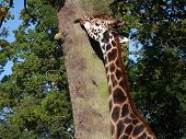 Giraffe Licking The Bark On Tree