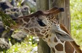 Постер, плакат: Baby Giraffe Feeding On A Plant