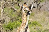 Cute Little Baby Giraffe
