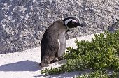 image of jackass  - African Penguin  - JPG
