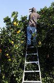 Picking oranges