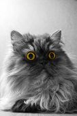 Grey Persian Cat With Yellow Eyes