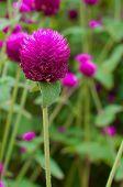 Globe amaranth or Gomphrena globosa