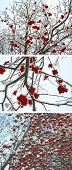 Winter mountain ash, set