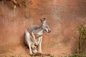 Постер, плакат: Red Kangaroo