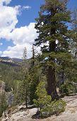 Large pine trees on Devils Postpile