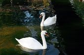 white swan on to the pond,