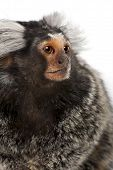 pic of marmosets  - Common Marmoset Callithrix jacchus 2 years old in front of white background - JPG