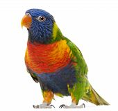 Rainbow Lorikeet, Trichoglossus Haematodus, 3 Years Old, Standing In Front Of White Background