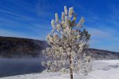 Frosted Red Pine