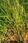 image of tallgrass  - Tall grass on a marsh wetland taken on the San Gabriel River in Whittier - JPG