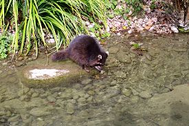 picture of raccoon  - Raccoon - JPG