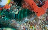picture of hawkfish  - Red Spotted Hawkfish perched on a coral reef - JPG