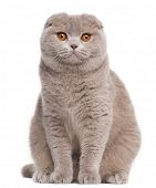 stock photo of scottish-fold  - Scottish Fold cat - JPG