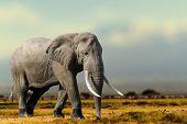 African Elephant, Masai Mara National Park, Kenya. poster