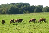 Herefords In A Pasture