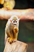 pic of baby spider  - photo of a tiny common spider monkey found in the tropics of central and south america - JPG