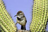 Kaktus-Zaunkönig