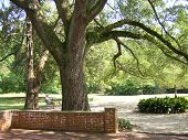 Grote live oaks & Man