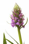 Purple Spotted Orchid