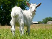 Cute domestic goat poster