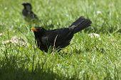 Blackbird Displaying
