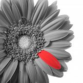 Black And White Gerbera With Red Petal