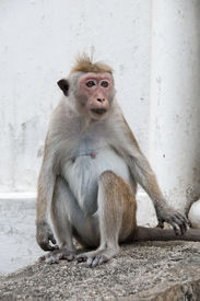 foto of tarzan  - Portrait of wild smart monkey with clever and calm look - JPG