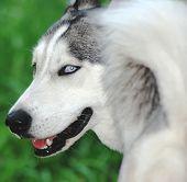 Siberian Husky Portrait