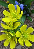 Winter aconites and Siberian squill
