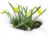 Daffodils blooming through the snow