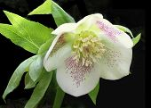 Hellebore flower (Helleborus orientalis) isolated on black