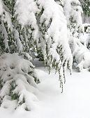 Schnee bedeckte Hemlock Zweig
