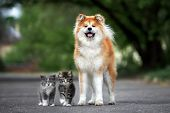 Akita Dog Posing With Two Fluffy Kittens Outdoors poster
