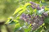 Beautiful Green Bush With Fragrant Tender Lilac Flowers In Garden On Sunny Day, Space For Text. Awes poster