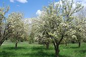 image of tree-flower  - Blooming apple or peach trees in a spring orchard - JPG